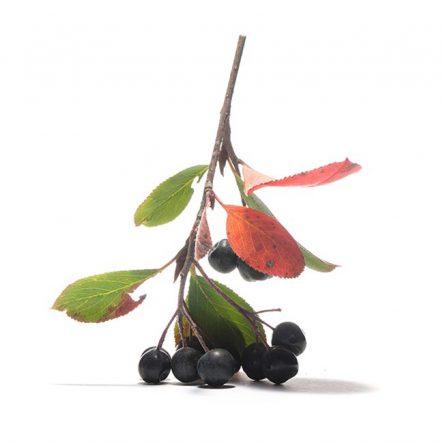 Apfelbeere Aronia